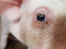 Little pig in little farm. Piglet animal cute eye Stock Image
