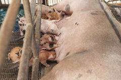 Little pig feeding pigs are brought together. Royalty Free Stock Images