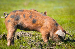 Little pig in a mud Royalty Free Stock Photos