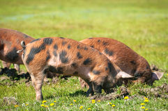 Little pig in a mud Royalty Free Stock Photo