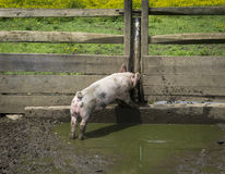 Little Pig in a Pen Royalty Free Stock Images