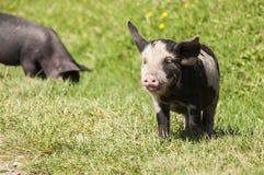 Little Piglet on Green Grass Stock Photos