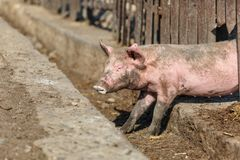 A little pig runs out into a hole in the fence. He closed his eyes in fear. Livestock farm. Horizontally framed shot stock image