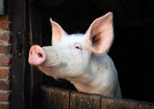 Little pig's portrait. In a farmhouse in Alsatian country, France Stock Photo