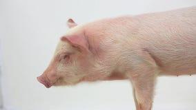 Little pig sleep stock video footage