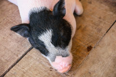 Little Pig sleeping Royalty Free Stock Photography