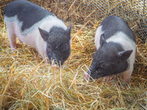 Little pig Stock Image