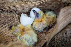 Little pigeon in the nest , baby birds just hatching from egg stock image