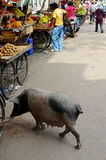 This Little Piggie Goes To Market, India Stock Photography