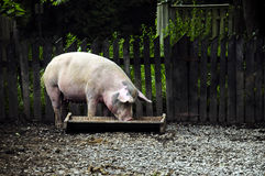 Little Piggy Stock Photography