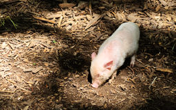 Little piggy in the forest Stock Image