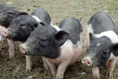 Little piggy Royalty Free Stock Photography