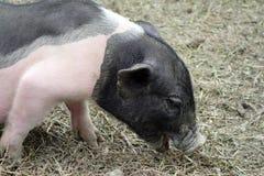 A little piggy Royalty Free Stock Photos