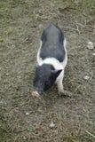 A little piggy Stock Photos