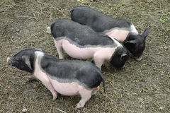 Little piggy Royalty Free Stock Images