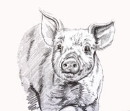 Little piggy vector illustration