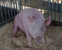 Piggy cornered and not sure what to do. royalty free stock photos