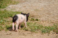 Little piggy. Small Flake piggy goes away royalty free stock image