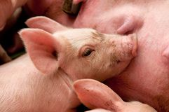 Little piglet Stock Photography