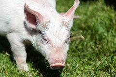 Little Piglet Feeding on Grass Royalty Free Stock Photography