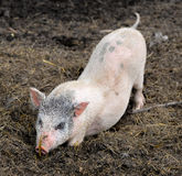 Little piglet Royalty Free Stock Images