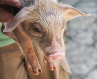 Little Piglet Royalty Free Stock Photo