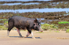 Little piglet at ocean beach Royalty Free Stock Photography