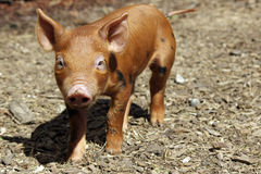 Little Piglet. A little orange and black spotted piglet standing in a farmyard Royalty Free Stock Photography