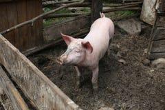 Little piglet. Portrait of a little funny piglet on a farm/Little piglet/Little funny piglet on a farm stock photo