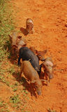 Little piglet running towards camera Stock Images