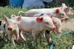 Little piglets Royalty Free Stock Photography