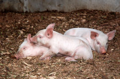 Little piglets. Three little four weeks old piglets lying together in the stable stock photos