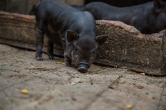 Little piglets in a pigsty Royalty Free Stock Photography