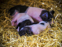Little piglets resting Royalty Free Stock Photos