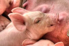 Momma pig feeding baby pigs Royalty Free Stock Images