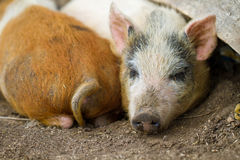 Little pigs. Little happy pigs sleeping on the ground together Royalty Free Stock Photo