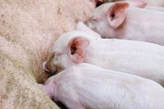 Little pigs. Several pigs feeding at the country farm Royalty Free Stock Image