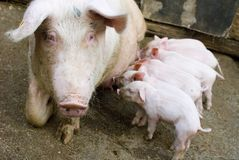 Little pigs. Several pigs feeding at the country farm Royalty Free Stock Photos