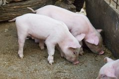 Little pigs Stock Photography