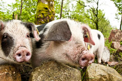 Little pigs Royalty Free Stock Photo