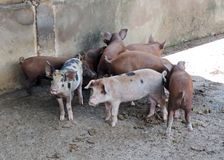 Little pigs Stock Images