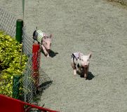 funny pig race stock photography