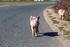 Little pigs cross the road Stock Images