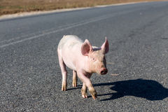 Little pigs cross the road Royalty Free Stock Photography