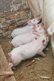 Little pigs eating. From their momma pig Royalty Free Stock Images