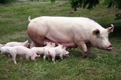 Little pigs eating milk from mother on meadow Stock Photo