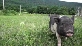Little pigs. At the farm stock video footage