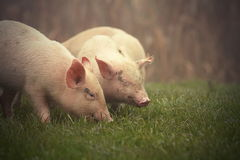 Little pigs on meadow. Little pink pigs on meadow near the farm in a foggy day stock photos