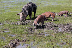 Little pigs in a mud Stock Images