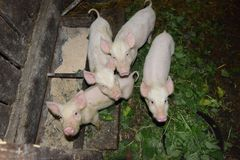 Little pigs on a pig breeding farm Royalty Free Stock Images